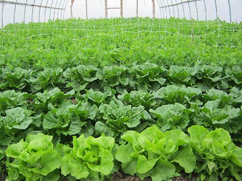 RedFern Gardens Lettuce